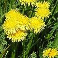 1500 Samen Löwenzahn - vitaminreicher Salat, Pusteblume von Samenfritze bei Du und dein Garten