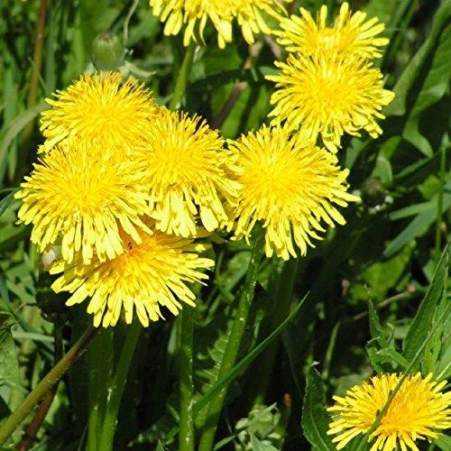 500 Samen Löwenzahn – Taraxacum officinale, Pusteblume