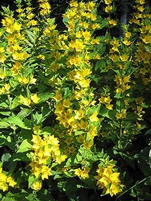 Goldfelberich, Lysimachia punctata im 9cm Topf von Get you Green auf Du und dein Garten