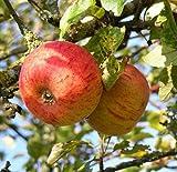 Apfelbaum Goldparmäne Apfel Goldparmäne - Malus Goldparmäne Containerware 120-160 cm