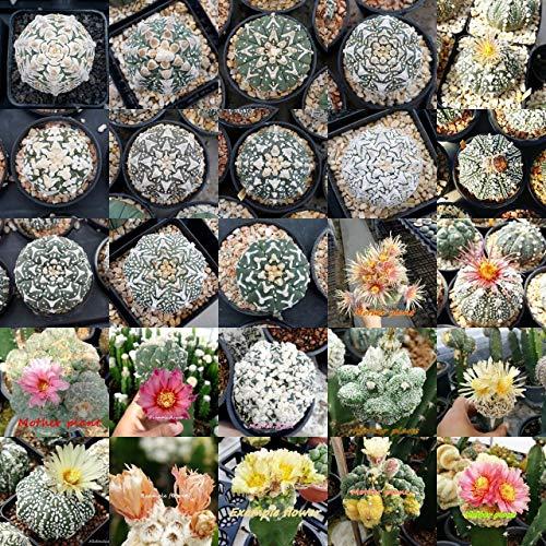 PLAT FIRM GERMINATIONSAMEN: 50 frische Samen Astrophytum ASTERIAS MIXED Variegata, VType, Shinshowa, Kikko ect