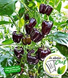 """BALDUR-Garten Veredelte Paprika""""Bellania"""" F1, 2 Pflanzen Paprikapflanzen"""