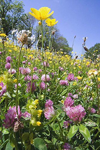 Just Seed - Wild Flower (British) - Lehmboden Flower Mix  (kein Gras) 4 G Samen