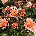 lichtnelke - Beetrose Jazz® Bodendecker-Rose Farbspiel 2L von Lichtnelke Pflanzenversand auf Du und dein Garten