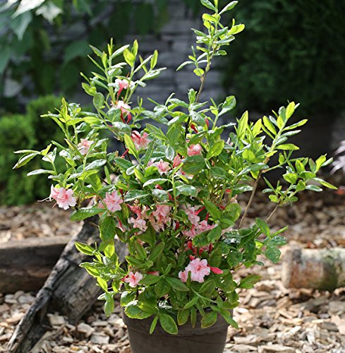 Azalee Corneille 25-30cm – Rhododendron luteum – Alpenrose