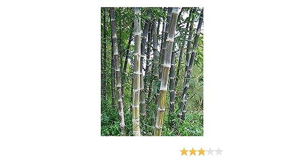 bambou g/éant 15 graines Dendrocalamus maximuslamina