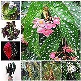 Bloom Green Co. 100 Unids/bolsa Begonia Bonsai Flor Planta Jardín Terraza Exterior Color Hoja Begonia Planta En maceta Famil