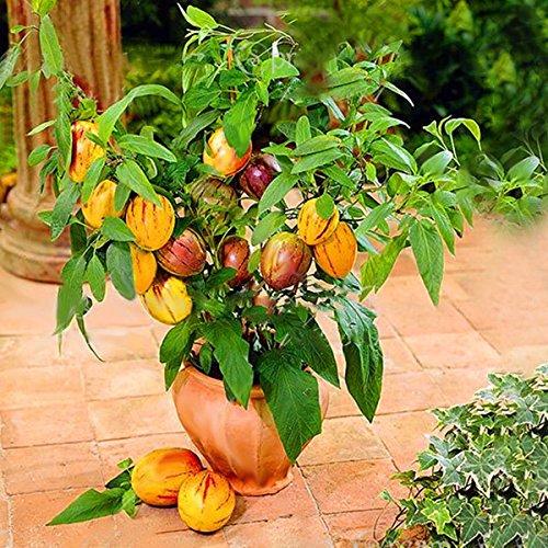 Inovey 100 Pcs/Pack Sweet Melon Graines Rare Melon Fruit Plante Graines Jardin Balcon De Légumes Semences