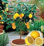 30 Samen/bag Zitronenbaum, Zitronensamen, Bonsais Bio Heirloom Obstbaumsamen, natürliches Wachstum, Pflanze für Mini-Garten Decor