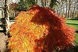 Winterharter Japanischer Fächerahorn Acer palmatum Going Green 1x Baum
