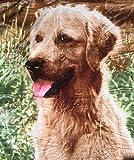 Kuscheldecke Tagesdecke Wohndecke Motiv Hunde / Golden Retriever 160x200cm