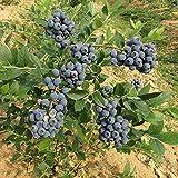 20 unids Arándano Semillas Árbol Fruta Planta Jardín Decoración Bonsai En Maceta Semillas de Crecimiento Rápido Delicioso Inicio
