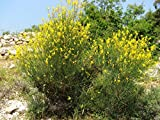 AGROBITS Spartium ginestra odorosa g. Spagna 20see mari