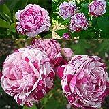 50pcs chinesischen Rosen-Samen Lila wei§e Rosen-Blumen-Garten Zierpflanze