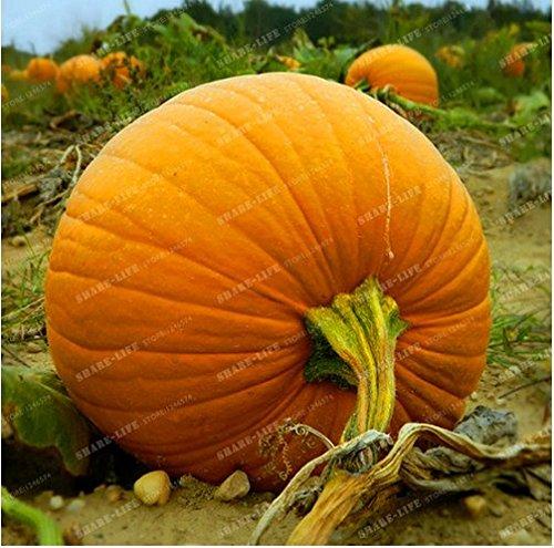 New Riesenkürbis 20+ Samen Halloween-Kürbis Bio-Samen - Cucurbita pepo