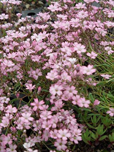 Kräuter - Pflanzenpaket Niedrige Blütenstauden für 4 m² Dachbegrünung, Steingarten, etc.