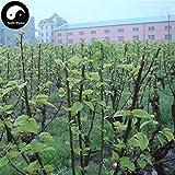 PLAT FIRM Germinazione dei semi: 100pcs: Acquisto Morus Alba Albero semi di piante di gelso Foglia Per Silkworm alimentari Sang Shu
