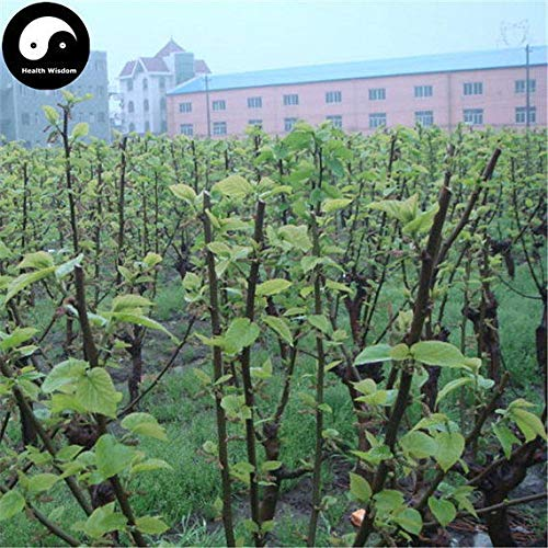 PLAT FIRM KEIM SEEDS: 100pcs: Kaufen Morus Alba Baumsamen Pflanze Mulberry Blatt Für Silkworm Lebensmittel Sang Shu