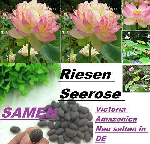 Lotus Blume, Samen (6x Victoria Amazonica Riesen Seerose Lotus Samen Seerosen selten in DE #233)