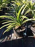 Agapanthus Agapanto Pianta di Agapanthus in Vaso 20 cm