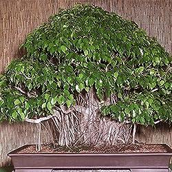 KINGDUO 150Pcs Bonsai Seeds Feigen-Ficus Benjamina Home Bonsaipflanze Grüner Baum
