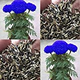 #2: Purple Blue Marigold 100 Seeds