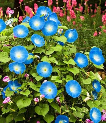 ALTO MORNING GLORY - Heavenly Blue - Ipomoea purpurea 100 -