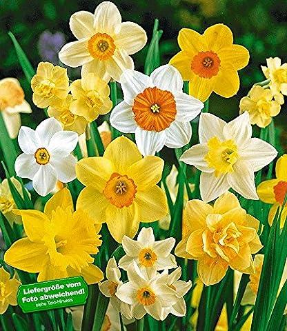BALDUR-Garten 100 Tage-Narzissen-Mix, Osterglocken, 35 Zwiebeln Narcissus