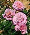 Blue Girl® Edelrose Container 7 Liter von Rosarot Pflanzenversand bei Du und dein Garten