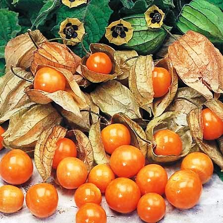cape-gooseberry-giant-physalis-peruviana-50-seeds