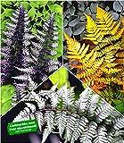 BALDUR-Garten Winterharte Japanische Schmuck-Farn-Kollektion, 3 Pflanzen Dryopteris, Athyrium Gartenfarn mehrjährig