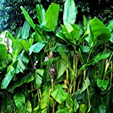 Future Exotics Musa VELUTINA Pflanzen Rosa Zwergbananen mit essbaren Früchten 15-18 cm, 2 Stück