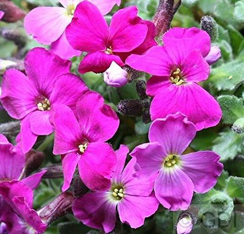 Blaukissen Violette Blüten