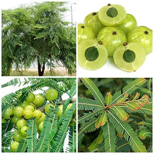 ScoutSeed 10 Samen von Phyllanthus emblica, Amla, indische Stachelbeere, Samen, C