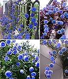Blue Climbing Rose Flower Seeds by E Garden