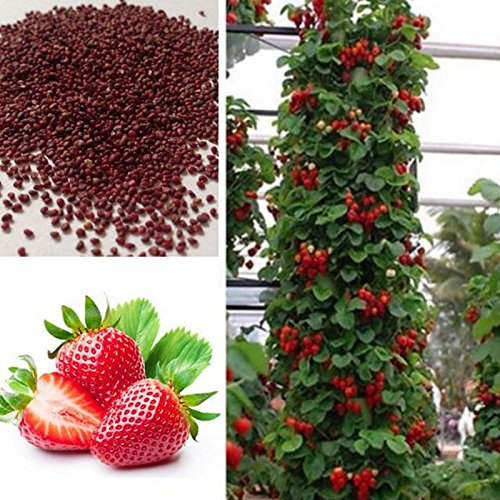 Géant Escalade Strawberry Graines & Rare semences maison Couleur Strawberry Fruit Garden bricolage pour bonsaï 100 graines / paquet