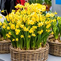An all time gardeners favourite, these great value bulbs are a must for any garden. There deep golden yellow flowers appear in early spring, and each stem can bear up to 3 blooms.