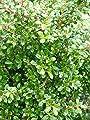 japanische Hülse Ilex crenata Glorie Gem 50-60 cm Kugel mit Ballen von Plantenwelt - Du und dein Garten