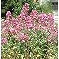 Herb Seeds - Valerian Red - 200 Seeds