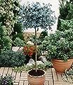 BALDUR-Garten Eukalyptus-Bäumchen 1 Stämmchen Eucalyptus gunnii von Baldur-Garten bei Du und dein Garten