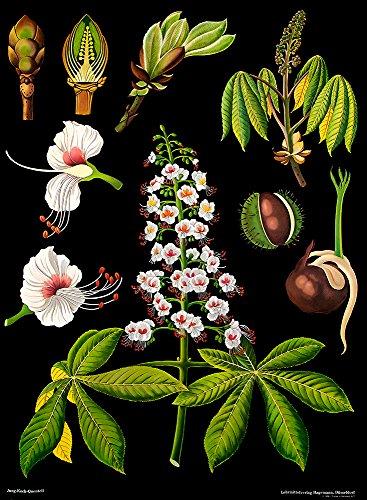 Rosskastanie - Lehrtafel (klein) - Dekoposter - 60 cm x 80 cm - Wanddekoration - Poster - Naturtafel