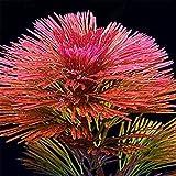VIDOO Egrow 1000 Stück Aquarienpflanzen Samen Kiefernbaum Semillas Raras Plantas Wasser Fisch-Tank Bäume-Rot