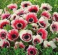 Anemone BICOLOR Rot Weiß in den Größen 20 / 50 / 100 Blumenzwiebeln von Peciborsc Pflanzenraritäten bei Du und dein Garten