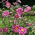 lichtnelke - Anemone (Anemone japonica 'MARGARETE') von Lichtnelke Pflanzenversand auf Du und dein Garten
