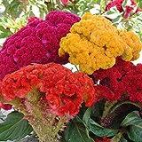 100pcs Semi colori Amaranto Celosia Cristata millefiori