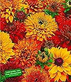 BALDUR-Garten Sonnenhut Rudbeckia 'Morroccan Sun®', 3 Knollen