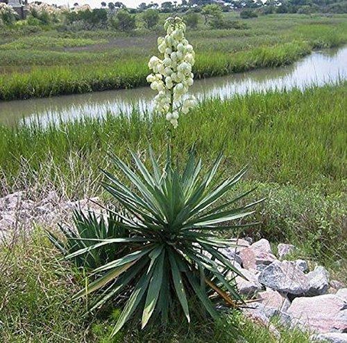 Plantree Seifenkraut Yucca Glauca Kaktus?50 Samen?Saftig?Medizinisch?Kunsthandwerk?Blume