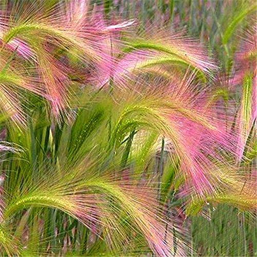 PROMOZIONE * 100 Pz Setaria Italica Belle Semi Erba ornamentale (Hordeum Jubatum), rari semi di giardino fiorito