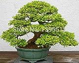 Mini Topf 20 Bonsai-Baum Samen selten Weihrauch Cypress Samen, Bonsai für Blumentopf Pflanzer