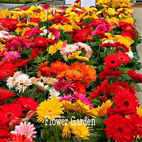 agrobits ! 100 parti/pacchetto più basso pr gerbera ibridi fiore mix flores piante bonsai facile da coltivare plantas per la casa & amp; giardino